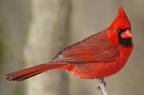 Cardinalamerican reviews